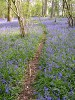 Walks for Well-Being: Bluebells at Barcombe